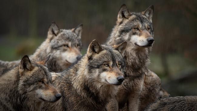 Grupo de quatro lobos em uma floresta