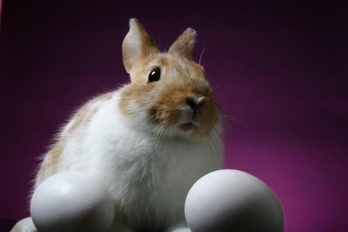 """Falar que o ovo é """"fruto"""" do coelho é um argumento falso (falácia). Entretanto, apesar de ilógico, na Páscoa, todos o aguardam"""